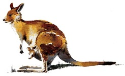 Kangaroo with baby
